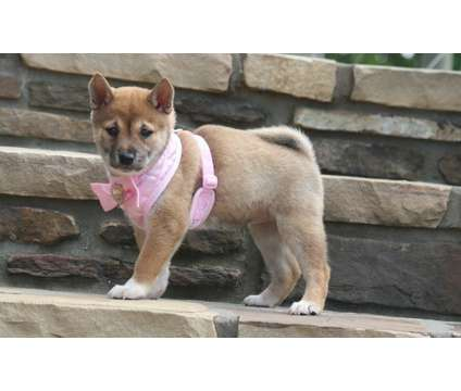 BABGA Beautiful Shiba Inu Puppies Ready is a Shiba Inu For Sale in Tacoma WA