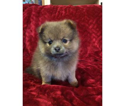 Puppies is a Male Peek-A-Pom Puppy For Sale in Seattle WA