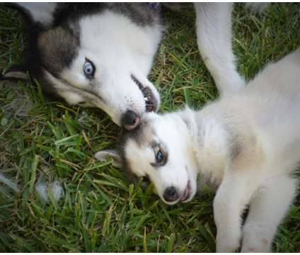Siberian Husky - 8 Weeks is a Female Siberian Husky Puppy For Sale in Houston TX