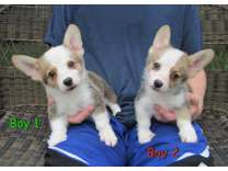 AKC Pembroke Welsh Corgi Puppies *Update 10/22/16*