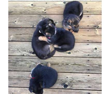 German Shepherd puppies 900$ each is a Female German Shepherd For Sale in Portland OR