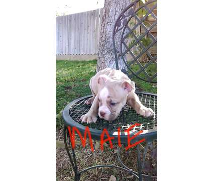 english bulldog puppies is a Female Bulldog Puppy For Sale in Fresno CA