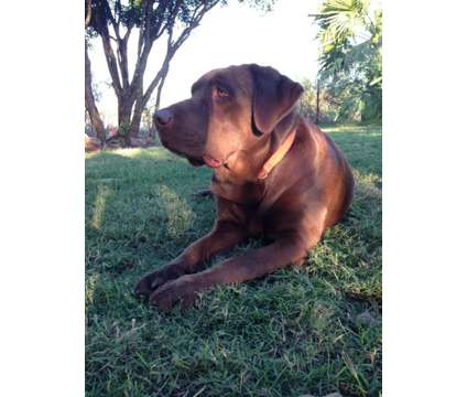 Labrador Retriever is a Female Labrador Retriever For Sale in San Antonio TX
