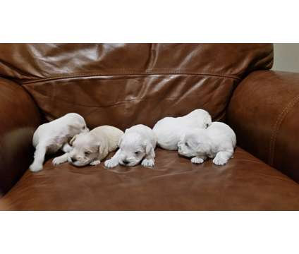 White Miniature Schnauzer Puppies is a White Female Miniature Schnauzer Puppy For Sale in Woodstock GA