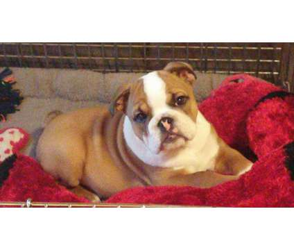 Bulldog Puppy is a Female Bulldog Puppy For Sale in Myrtle Beach SC