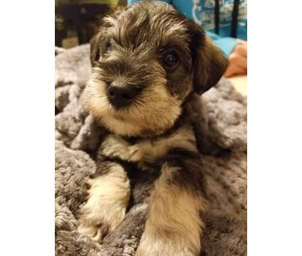 AKC Salt & Pepper Miniature Schnauzer is a Male Miniature Schnauzer Puppy For Sale in Paradise CA