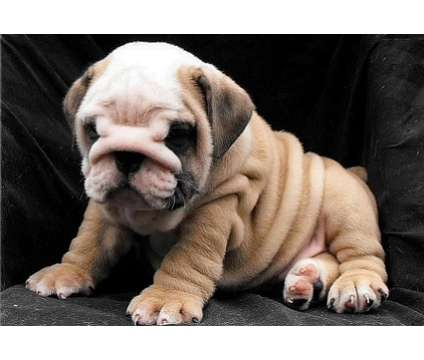 XX Splendid English Bulldog Puppies is a Grey Bulldog For Sale in Charlotte NC