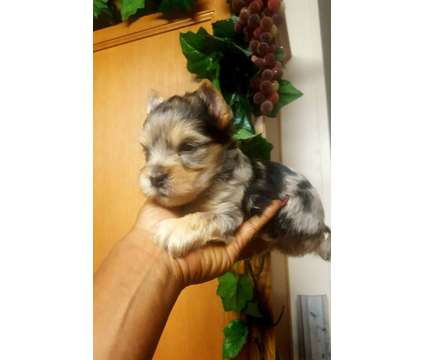 "Merle Yorkie Male"" Pure Breed Yorkshire Terrier is a Male Yorkshire Terrier Puppy For Sale in Austin TX"