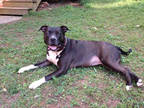 Unknown-Staffordshire Bull Terrier Mix DOG FOR ADOPTION RGADN-275154 - SAHA -