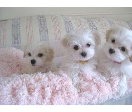 Havanese Puppy is a Female Havanese Puppy For Sale in Phoenix AZ