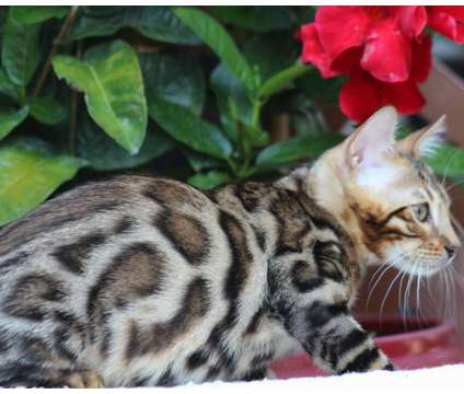 Bengal kittens is a Male Bengal Kitten in New York NY