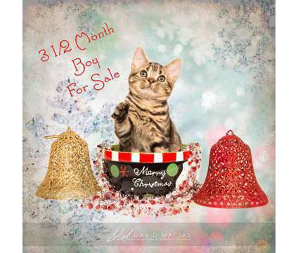 American Shorthair Kittens for Sale is a Male American Shorthair Kitten in Riverside CA