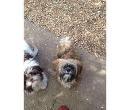Shih Tzu Puppy is a Male Shih-Tzu Puppy For Sale in Denver CO