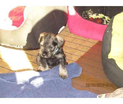 Mini Schnauzers males is a Male Miniature Schnauzer Puppy For Sale in Atlanta GA