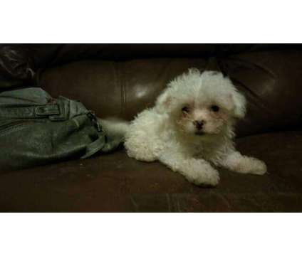 maltipoo is a Female Puppy For Sale in Myrtle Beach SC