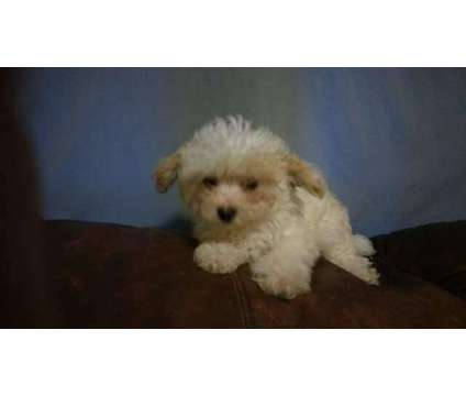 maltipoos is a Female, Male For Sale in Myrtle Beach SC