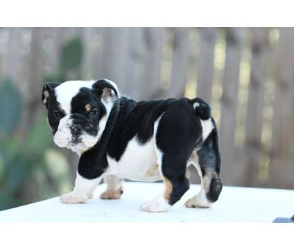 akc black tri english bulldog is a Black Male Bulldog Puppy For Sale in Houston TX