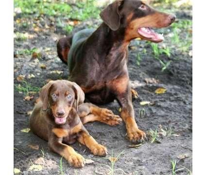 Doberman Pinscher Puppies is a Male Doberman Pinscher Puppy For Sale in Sarasota FL