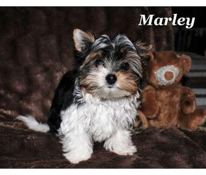Yorkie German Biewer Puppy DOB 10/19 16 is a Male Biewer Puppy For Sale in Douglasville GA