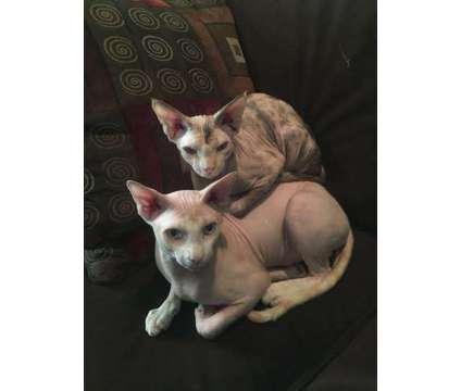 Sphynx Kittens is a Female Sphynx Kitten For Sale in Riverside CA