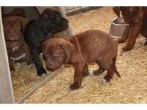 Ambullneo Mastiff Puppies available