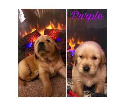 Adorable twelve weeks Golden retriever puppies is a Golden Retriever Puppy For Sale in Sherbrooke QC