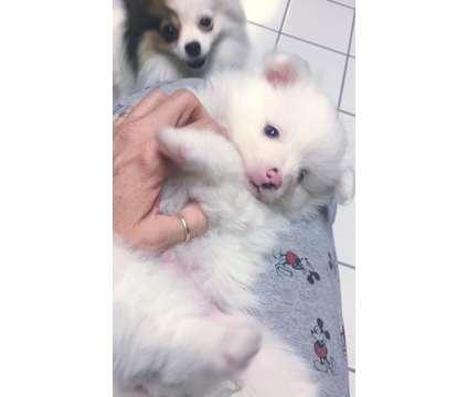 Pomeranian Male Merle is a Male Pomeranian For Sale in Bentonville AR