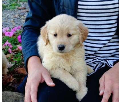 ghjfdgfjhgfjghfjfg Golden Retriever Puppies For Sale is a Female, Male Golden Retriever For Sale in Ottawa ON