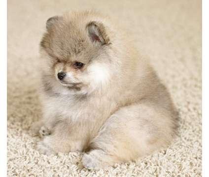 Pomeranian Puppy is a Female Pomeranian Puppy For Sale in Austin TX