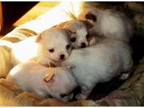 Akc Chihuahuas