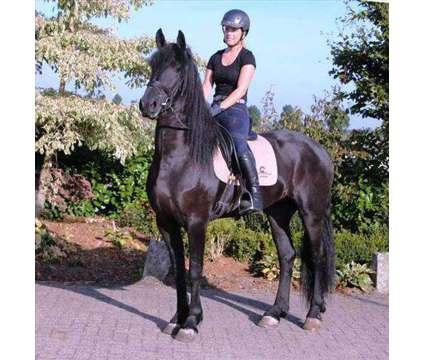 CVSVBSDSSD Friesian Horse For Sale is a Male Friesian in Park Row TX