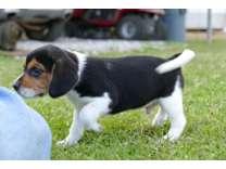 AKC Male Beagle Puppy