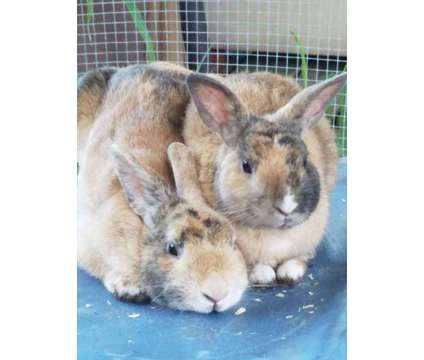 Rabbits For Sale is a For Sale in Vero Beach FL