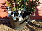 Border Collie-Belgian Sheepdog Mix PUPPY FOR SALE ADN-24657 - Working Companion