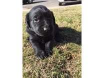 GoldenLab Puppy