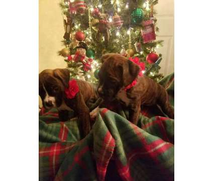 Akc Boxer Puppies is a Boxer Puppy For Sale in Buffalo NY