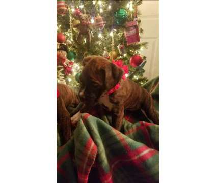 Akc Boxer Puppies is a Male Boxer Puppy For Sale in Buffalo NY