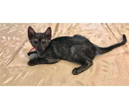 Egyptian Mau Kittens is a Male Egyptian Mau Kitten For Sale in Benton TN