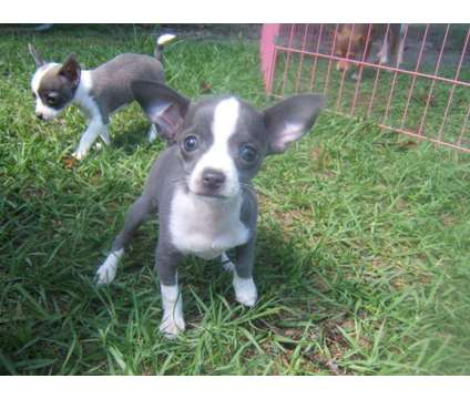 """CKC Blue & Blue fawn Tiny Chihuahua puppies available, Born 3-11-2017, """"H"""" litte is a Blue Female Chihuahua Puppy For Sale in Lexington SC"""