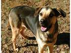 Adopt Teddy a Black - with Tan, Yellow or Fawn Shepherd (Unknown Type) / Hound