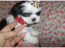vbxtqs charming shih tzu puppies for you