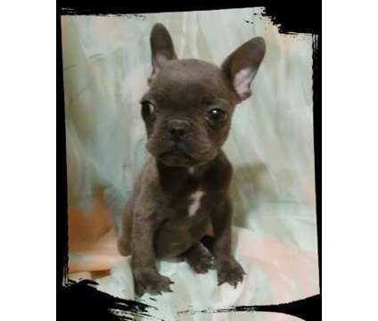 French Bulldog puppy is a Male French Bulldog Puppy in Cold Spring Harbor NY