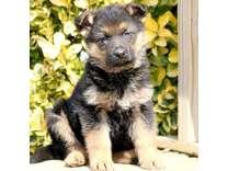 2AHappy German Shepherd puppies for sale