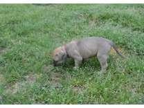 Akc Reg Bull Mastiff Puppies for Sale
