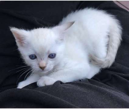 Siamese Kittens is a Siamese Kitten For Sale in Pottstown PA