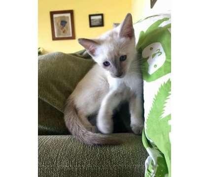 Siamese kittens is a Female Siamese Kitten For Sale in Dana Point CA