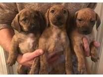 Boxer Pupies
