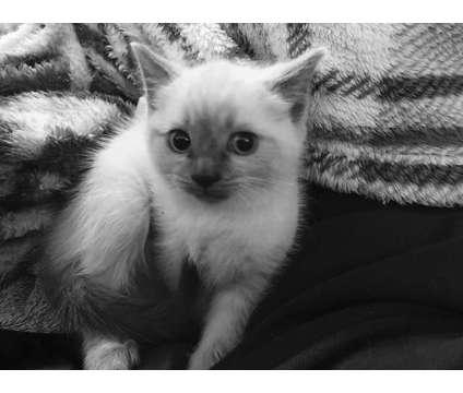 Kittens for sale is a Female Ragdoll Kitten For Sale in Santa Cruz CA