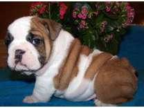 UMKDJHDF English Bulldog Puppies