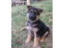 ONCANDT German Shepherd Puppies